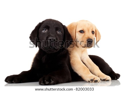 two cute labrador puppies - playing and looking at something