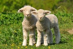two cute lambs