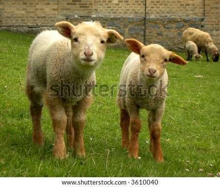 Two cute lambs looking into the camera with each other - stock photo