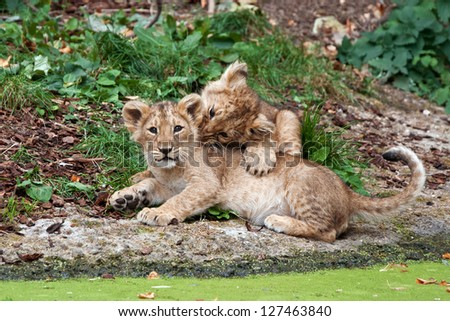 two cute lion cubs playing