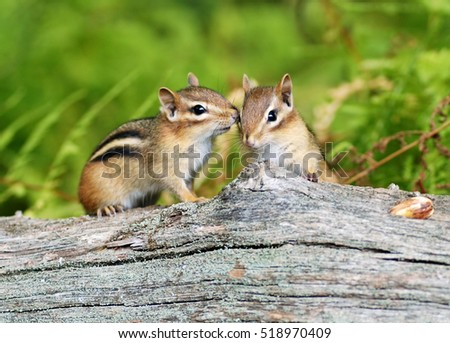 two cute little baby chipmunk...
