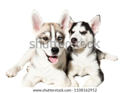 Two Siberian Husky Puppies Playing On White Background