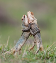 Two cute lizards dragons standing on their hind legs tightly hugged each other with their front legs so they fight for the territory of their habitat