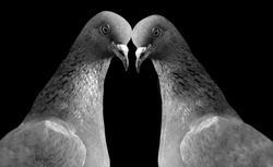 Two Cute Pigeons Birds In The Black Background