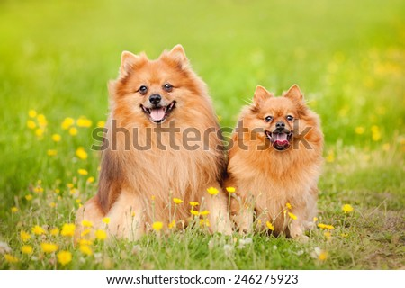 two cute pomeranian dog sitting in summer