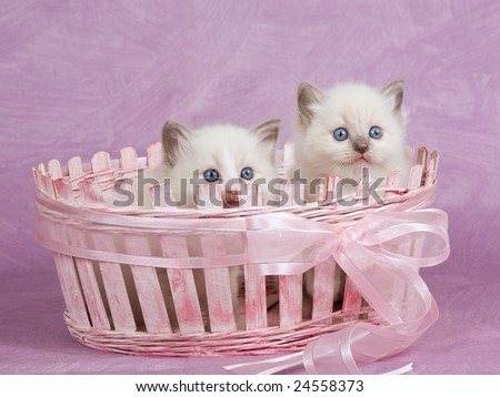 Two cute pretty Ragdoll kittens in pink basket with pink bow