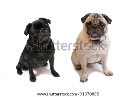 Two cute pugs sitting on a white background