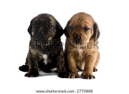 Two cute puppies brothers isolated on white background - stock photo