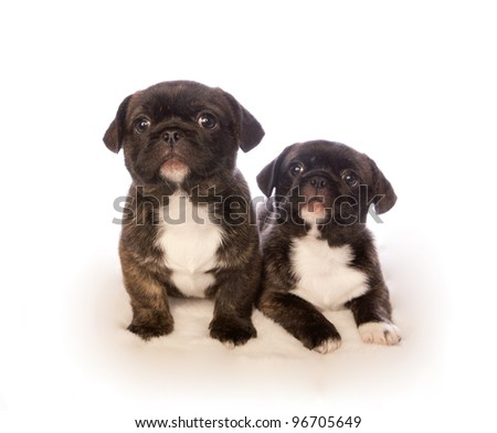 Two cute puppies isolated on white background - stock photo
