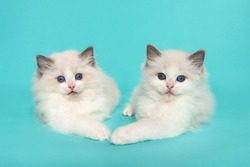 Two cute ragdoll kittens lying down in opisite directions on a blue turquoise background