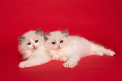 Two cute ragdoll kittens with blue eyes lying down together on a red background
