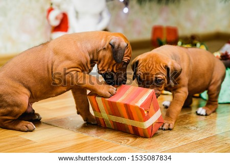 Two cute rhodesian ridgeback puppies opening christmas gifts, New year presents