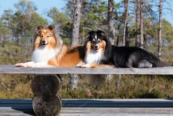 Two cute sable white and black tricolor shetland sheepdog, sheltie lies outdoors on autumn day in the forest swamp. Little collie, lassie  outside portrait on autumn magic sunset bog on wooden bench