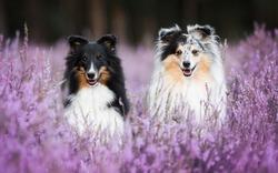 Two cute Shelties in flowers.