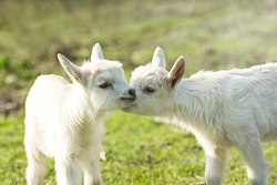 Two cute six days old kid on the green grass. One another tenderly kisses. Selective focus image/