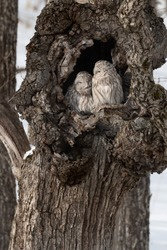 Two cute Ural Owls cuddling inside tree hole, Hokkaido, Japan,