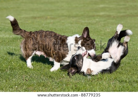 Two cute welsh corgi cardigan are playing together