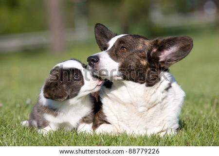 Two cute welsh corgi cardigan posing