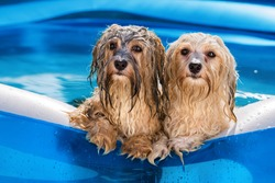 Two cute wet havanese dog rely on the edge of an inflatable outdoor pool in a hot summer afternoon
