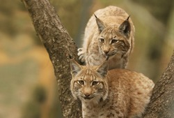 Two cute young  lynx in the forest. Wildlife scene from Europe. Lynx with tree trunk. Wild cat in the nature forest habitat. Lynx lynx