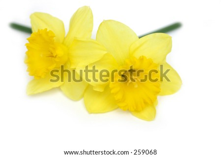 Two daffodils on white background.