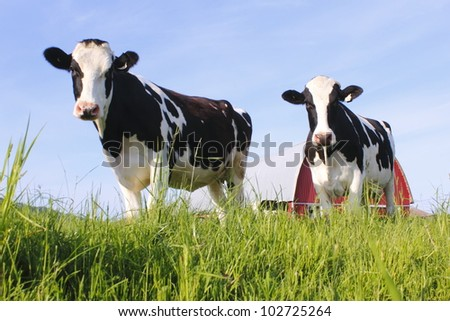 Two dairy cows stand in a pasture/Two dairy Cows/Two curious and healthy dairy cows