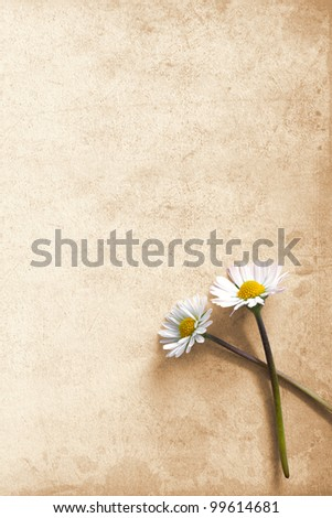 Two daisies on old cardboard