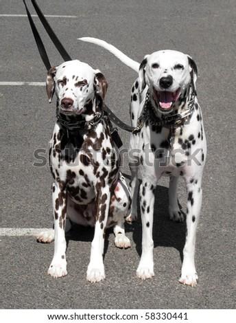 two dalmatian dogs