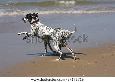 two dalmatians playing on the beach
