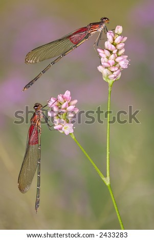 Two damselflies perch on the same plant.