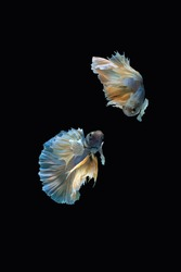 Two dancing blue yellow halfmoon betta siamese fighting fish isolated on black colour background
