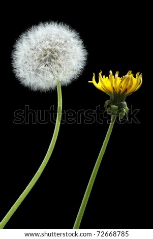 Two dandelions - blooming and dried, isolated on black