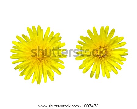 Two dandelions over white background
