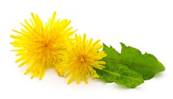 Two dandelions with leaves isolated on white background.