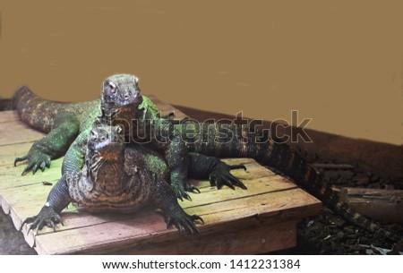 two dangerous predators Komodo dragons #1412231384