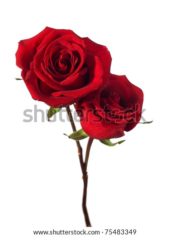 two dark red roses isolated on white