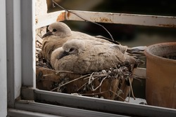 Two 14-day-old dove nestlings are nesting in flower pots on a windowsill. Eurasian collared dove, Streptopelia decaocto. Color photo.