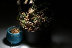 Two dead flowers in flowerpots on a black background are illuminated by white light. A dried flower in a blue and gray pot glows in the dark. Dry indoor plants.