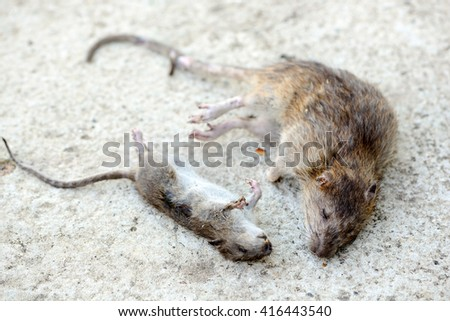 Royalty free stock photos and images two dead rats on the for Mice in between floors