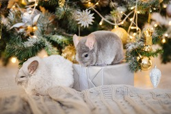 two decorative chinchillas sit on a knitted gray plaid against the background of a Christmas tree next to wrapped holiday gifts