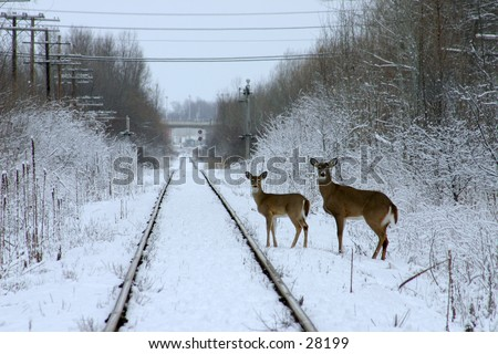 Pics Of Deer In Snow. stock photo : Two deer in snow