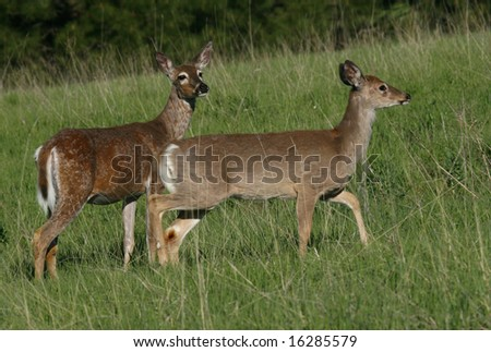 two deer walking