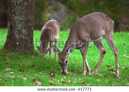 Zwei deers