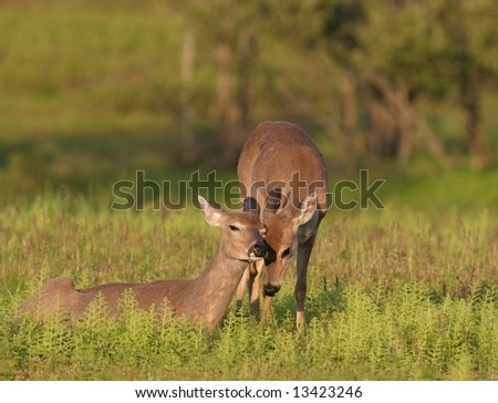 Two Deers showing affection