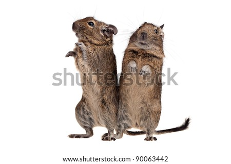 two degu rodent pets in standing pose isolated on white