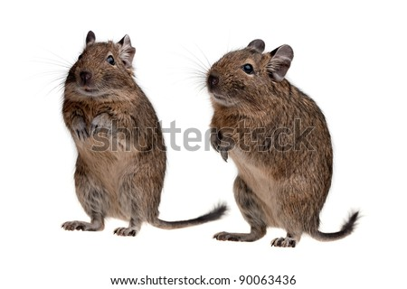two degu rodent pets isolated on white