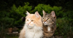 two different breeds of cats  side by side outdoors in the garden looking to the side. maine coon longhair cat on the left and shorthair cat on the right