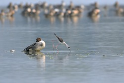 Two different species of birds are feeding in the wetland