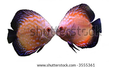 two discus fishes kissing isolated on white