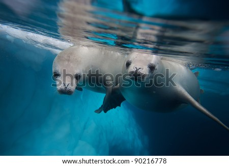 two diving crabeater seals (Lobodon carcinophagus)